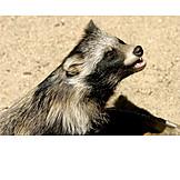 Marten, Raccoon dog