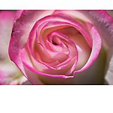 Rose, Makro, Rosa