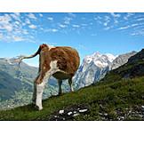 Cow, Calf
