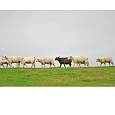 Individuality & Uniqueness, Sheep, Black Sheep
