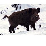 Wildlife, Wild Boar