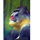 Animals, Monkey, Multi Colored, Mandrill