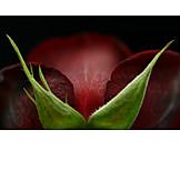 Makro, Rote Rose