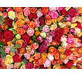 Rose, Sea of flowers, Rose petals, Flowers
