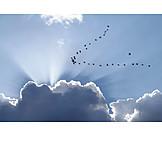 Migratory, Greylag goose
