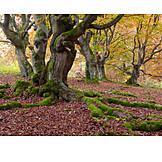 Autumn leaves, Beech grove, Kellerwald
