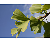 Ginkgo, Ginkgo leaf