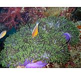 Fish, Sea anemone