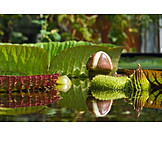Water lily, Victoria, Nymphaea