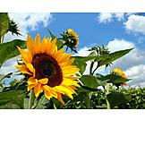 Flower, Sunflower