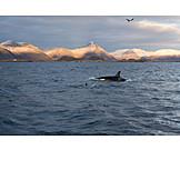 Lofoten, Large orca