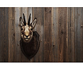 Wooden wall, Trophy, Chamois, Taxidermy