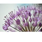 Blossom, Chive, Allium flower