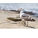 Water bird, Seagull, Herring gull