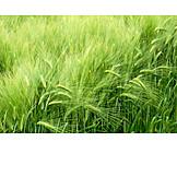 Barley, Corn field