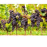 Grape, Vineyard, Vine, Viticulture