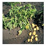 Potato, Potato plant, Potato harvest