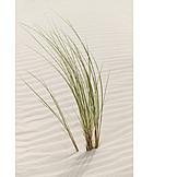 Marram grass, Marram grass