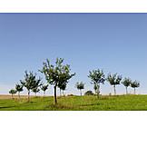 Apple tree, Fruit frorchard