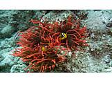 Sea Anemone, Animals, Clown Fish