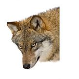 Wildlife, Predator, Wolf