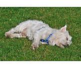 Sleeping, Dog, West highland terrier