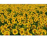 Sunflowers, Sunflower field