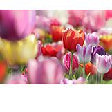 Tulip, Tulip