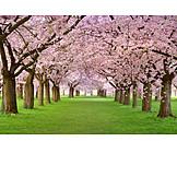 Spring, Cherry blossom, Tree blossom
