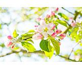 Cherry blossom, Tree blossom