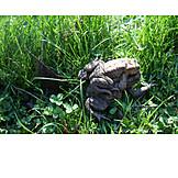 Mating, Toad, Frog Walk
