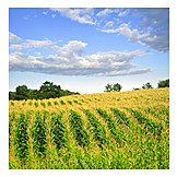Agriculture, Maize field, Crop, Outbuilding
