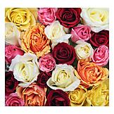 Rose, Rose petals, Rose bouquet