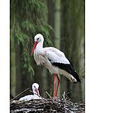 Stork, White stork