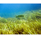 Fish, Sea grass