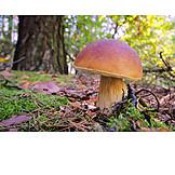 Mushroom, Cepe