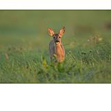 Wildlife, Alert, Deer