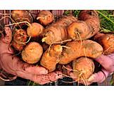 Harvest, Carrot