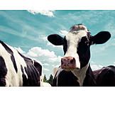 Cow, Livestock, Simmental