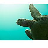 Turtle, Sea turtle