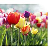 Tulpe, Frühling, Blühen