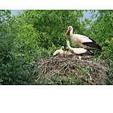Bird's nest, White stork, Storks