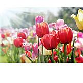 Spring, Flowering, Tulip Bed