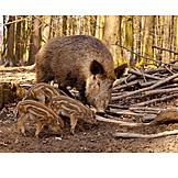Foraging, Wild piglet, Wild boar