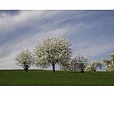 Cherry Blossom, Spring, Tree Blossom