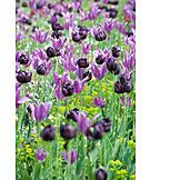 Flower meadow, Tulip, Meadow
