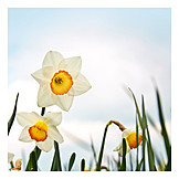 Easter daffodil, Flowering