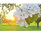 Apple blossom, Tree blossom, Fruit flower