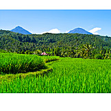 Agriculture, Paddy, Bali