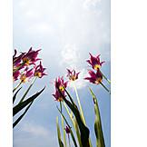Spring, Tulip
